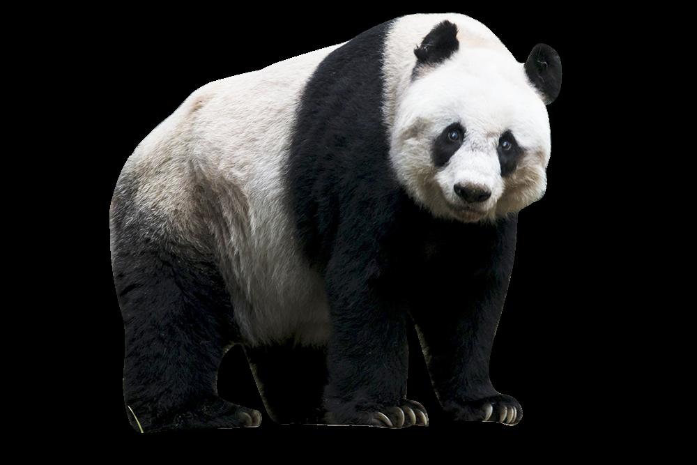 world s oldest giant panda jia jia put to sleep at hong kong s ocean